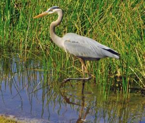 707px-Great_Blue_Heron_Wading_2
